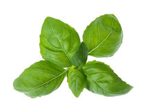 Fresh basil Stock Images