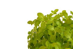 Fresh basil. Isolated against white background royalty free stock images