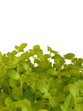 Fresh basil. Over white background royalty free stock images