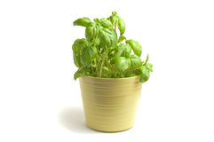Fresh basil Royalty Free Stock Photography