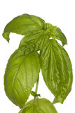 Fresh basil Stock Image