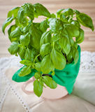 Fresh basil. On wooden background royalty free stock images