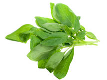 Fresh basil Royalty Free Stock Images