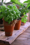 Fresh basil. Spice on table Stock Images