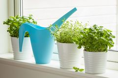 Free Fresh Basil And Thyme Herbs In Flowerpot On Window, Watering Can Royalty Free Stock Photo - 112116615