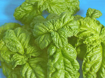 Fresh basil background Stock Photos