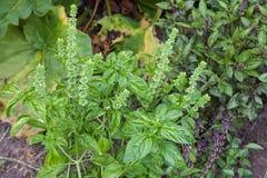 Fresh basil blooming outdoors Royalty Free Stock Photo