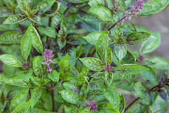 Fresh basil blooming outdoors Royalty Free Stock Photography