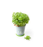 Fresh Basil in Bucket Royalty Free Stock Image