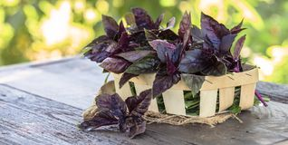 Fresh red basil herb leaves mix on garden background. Sweet Genovese basil and Purple Dark Opal Basil. Fresh basil on a dark background. Green basilik. Green stock photos
