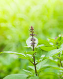 Fresh of basil flower plant Royalty Free Stock Photo