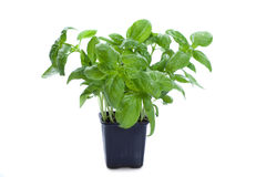 Fresh basil in the flower-pot Stock Images