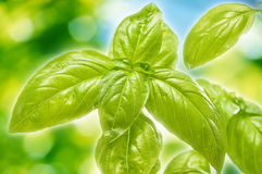 Fresh basil in the garden Stock Image