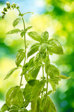 Fresh basil in the garden Royalty Free Stock Images