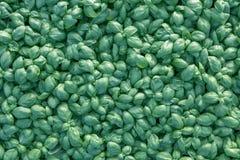 Fresh basil. Green basil. Green basil Food background. A lot of. Basil. Greenhouse Stock Photography