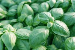 Fresh basil. Green basil. Green basil Food background. A lot of. Basil. Greenhouse royalty free stock image