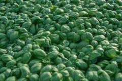 Fresh basil. Green basil. Green basil Food background. A lot of. Basil. Greenhouse Stock Image