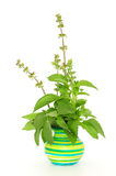 Fresh basil in green pot Royalty Free Stock Photo