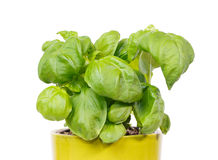 Fresh basil in a green pot Royalty Free Stock Image