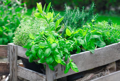 Fresh basil growing in crate Stock Images