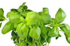 Fresh basil growing from pot Stock Images