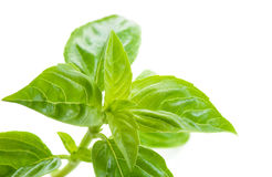 Fresh basil,healthy food Stock Photography