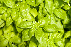 Fresh Basil Herb Royalty Free Stock Images