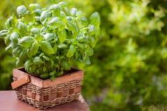 Fresh basil herb in flowerpot in garden royalty free stock photos