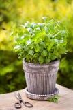 Fresh basil herb in flowerpot in garden royalty free stock image