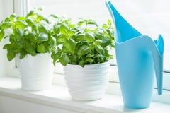 Fresh basil herb in flowerpot on window royalty free stock image