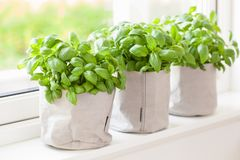 Fresh basil herb in flowerpot on window Royalty Free Stock Photos