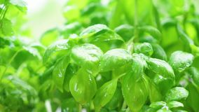 Fresh basil herb. Herbal garden with fresh basil herb and sprinking water stock video