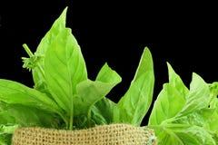 Fresh  basil herb in jute bag closeup Royalty Free Stock Image