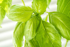 Fresh Basil Herb Leaves Closeup Stock Photography
