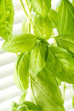Fresh Basil Herb Leaves Closeup Royalty Free Stock Images