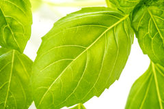 Fresh Basil Herb Leaves Closeup Royalty Free Stock Photography