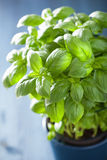 Fresh basil herb in a pot Royalty Free Stock Images