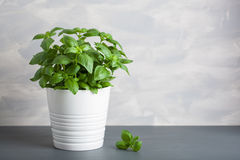 Fresh basil herb in pot royalty free stock photos