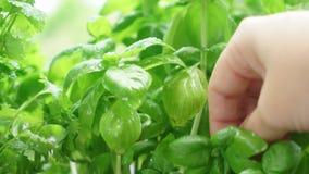 Fresh basil herb. Someone hand picking fresh basil in herbal garden stock video footage