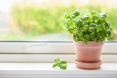 Fresh basil herb in terracotta flowerpot royalty free stock photos