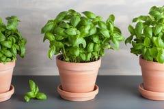 Fresh basil herb in terracotta flowerpot stock photos