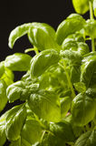 Fresh basil herbs on black Stock Photos