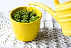 Free Fresh Basil In A Pot Stock Image - 13062301