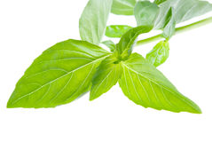 Fresh basil  isolate Stock Photography