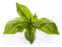Fresh basil isolated. Fresh basil leaves isolated horizontal royalty free stock images