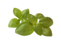 Fresh basil isolated on white Royalty Free Stock Photography