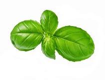 Fresh basil leaf isolated on white background. Close-up studio shot of fresh green basil herb leaves isolated on white background Stock Photos
