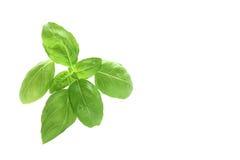 Fresh basil leaves Royalty Free Stock Photo