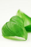 Fresh Basil leaves Royalty Free Stock Images