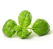 Fresh basil leaves Stock Photography